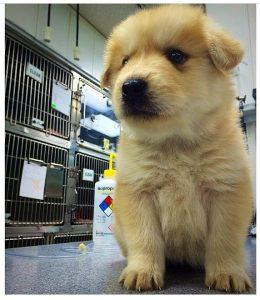 puppy-husky