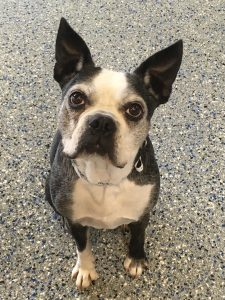 Senior Boston Terrier