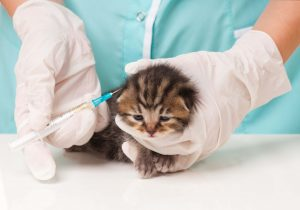 Kitten receiving vaccines