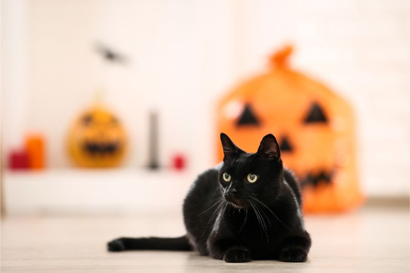 A black cat sits in a white room decorated with large jack-o-lanterns