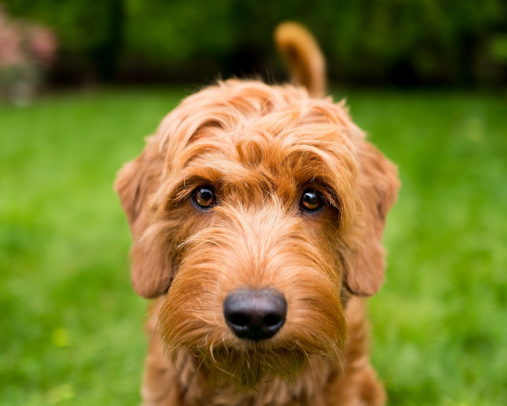 portrait of a one year old miniature golden doodle dog