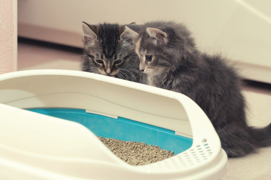 Two grey kittens staring into a litter box.