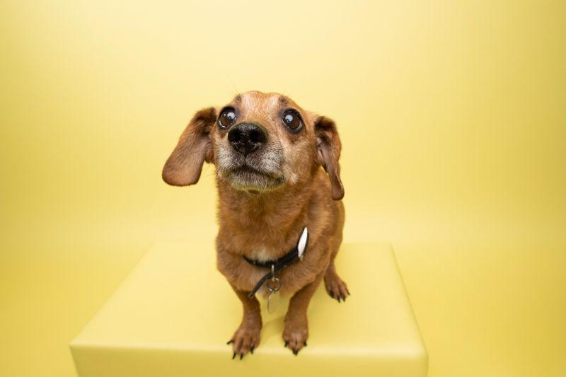 A dog looks at the camera against a yellow background.