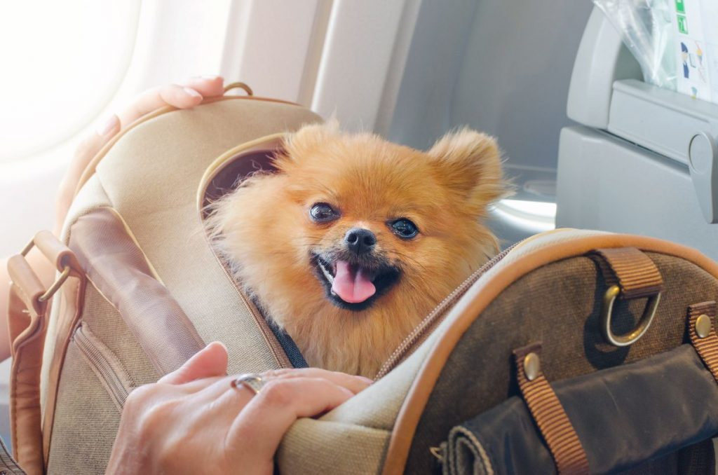 A pomeranian in a carry-on bag.