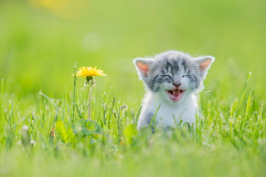 A cat sneezing in the grass.
