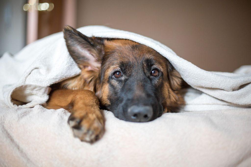 Depressed pet, dog under blanket.