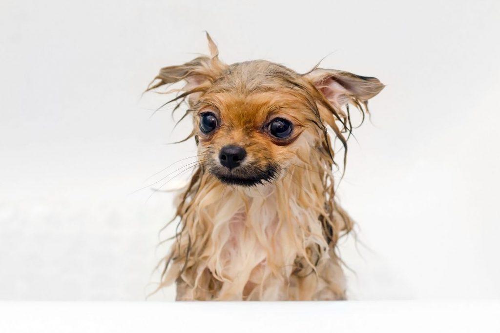 Smelly dog gets a bath.