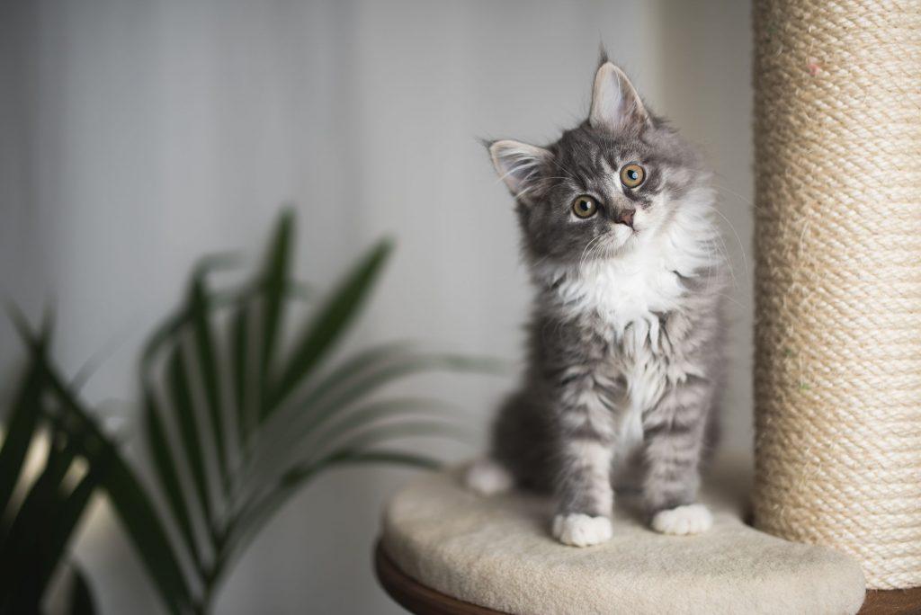 Indoor kitten.