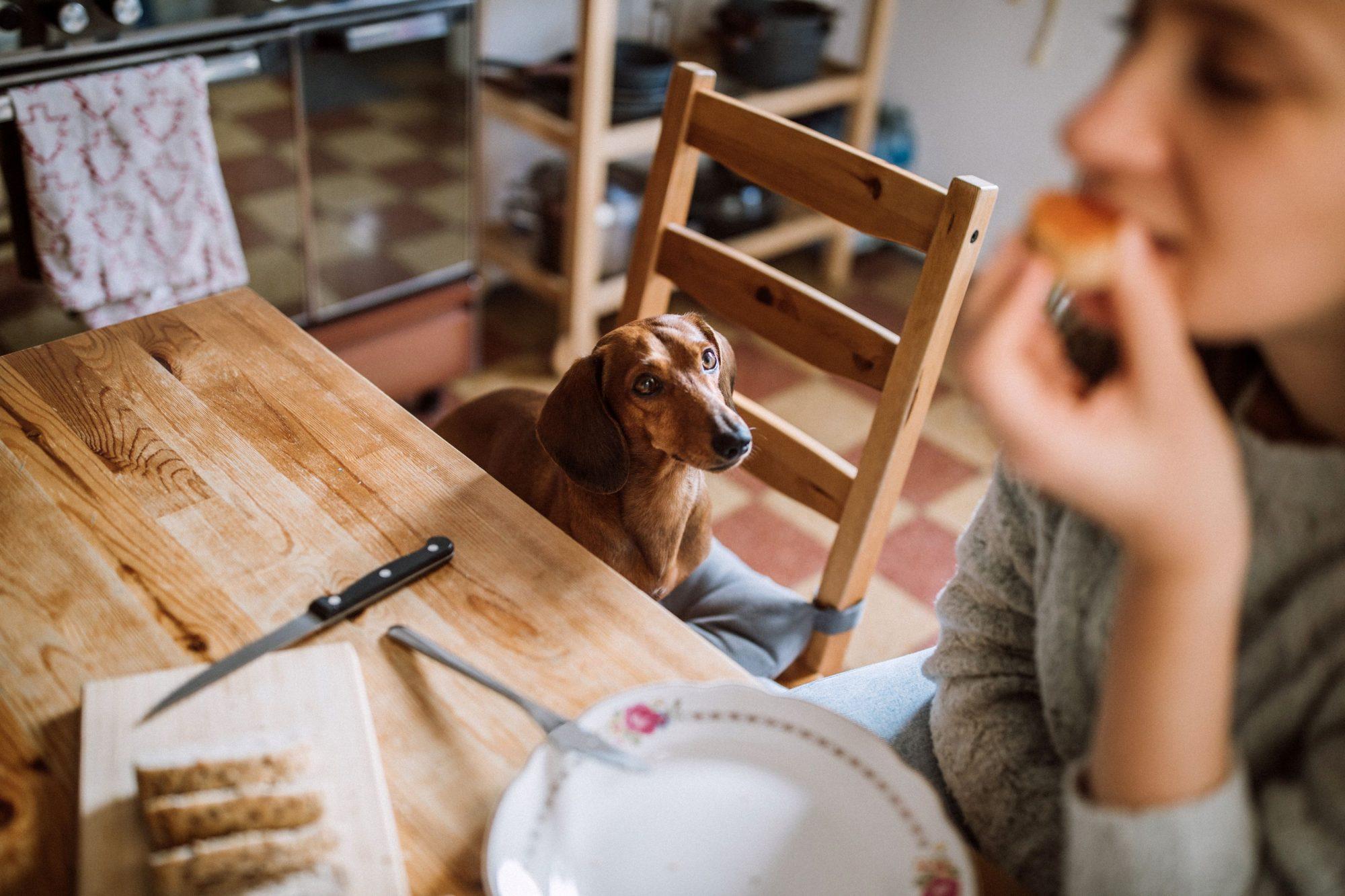 Dog begging for food.